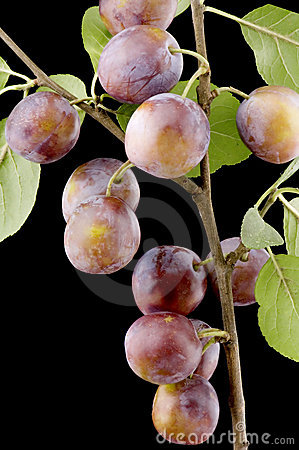 Wild-plum close up