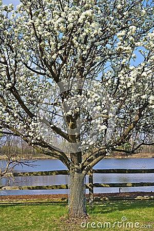Free Wild Plum Tree Stock Photography - 26046462