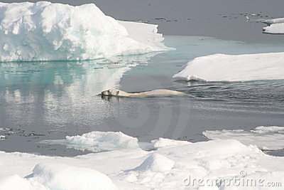 Wild Polar bear swim