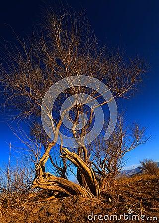 Wild poplar under sunset