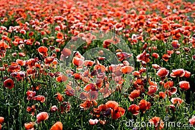 Wild poppies field