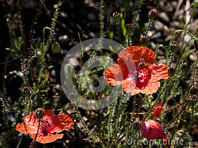 Wild poppies in the field with flying honey-bee