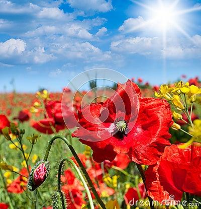 Wild poppies flowers