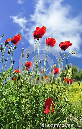 Wild poppies (Papaver rhoeas)