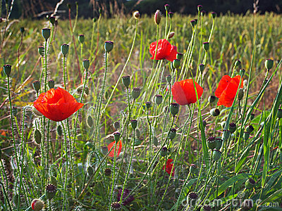 Wild Poppies and seed heads
