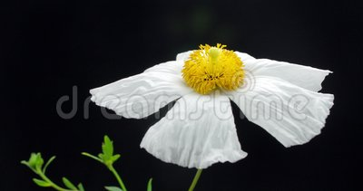 Wild Poppy Flower Spectacular Bloom. Close-up Time Lapse of a White Poppy Flower Bloom stock video