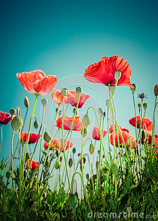 Free Wild Poppy Flowers On Summer Meadow. Floral Background Stock Photography - 42412142