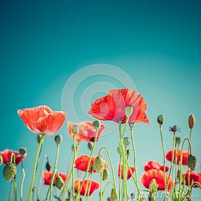 Free Wild Poppy Flowers On Summer Meadow. Floral Background Stock Photos - 42412143