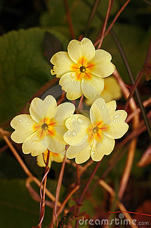 Free Wild Primrose (Primula Vulgaris) Royalty Free Stock Photo - 5482985