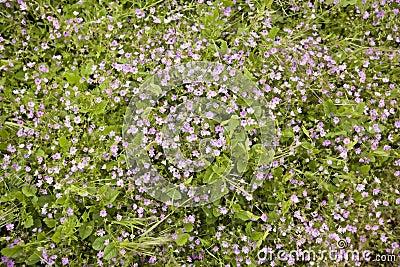 Wild purple flowers in a meadow