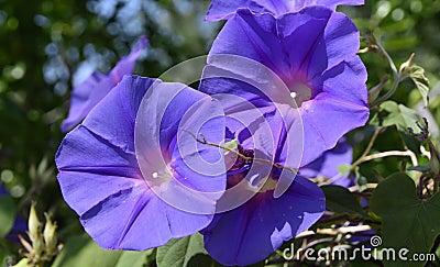 Wild purple morning glory