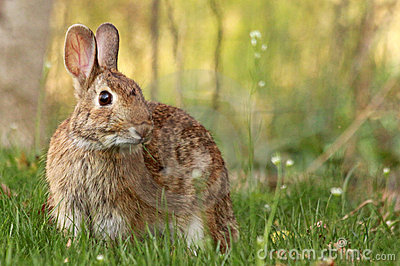 Wild rabbit.