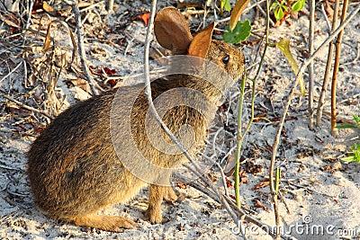 Wild rabbit at the beach