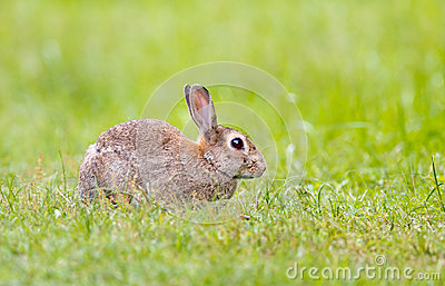 Wild Rabbit in grass