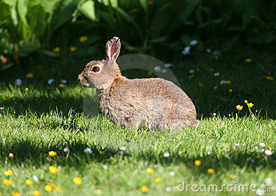 Wild Rabbit in Grass Meadow