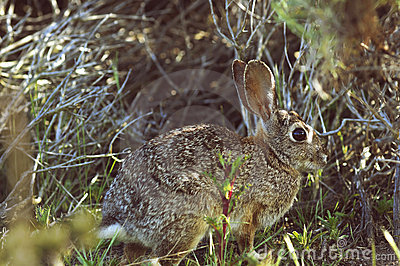 Wild rabbit sitting in a grass
