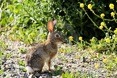Wild rabbit in the sun