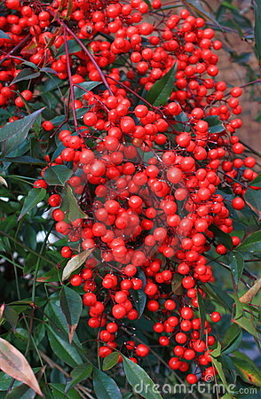 Wild Red Berry