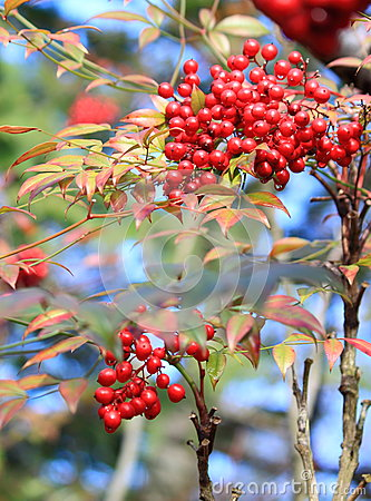 Wild Red Berry Fruits