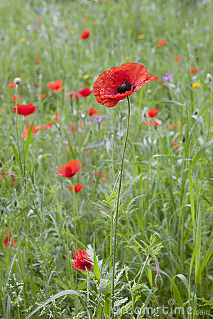 Wild Red Blooming Poppy
