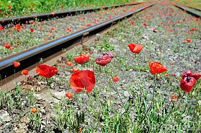 Wild red poppies near railway