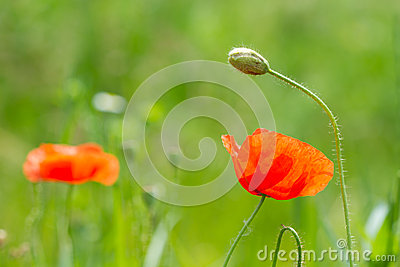 Wild Red Poppy Flowers