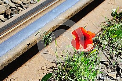 Wild red poppy near railway