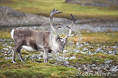 Wild reindeer in natural habitat (Arctic)