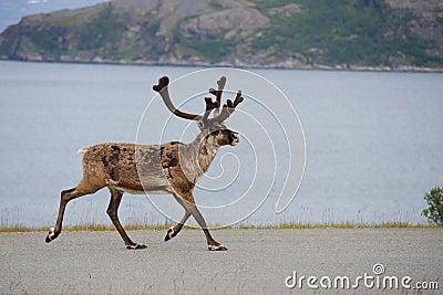Wild reindeer running, Scandinavia