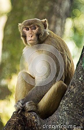 Wild Rhesus Monkey