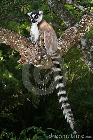 Wild ring-tailed lemur, Madagascar