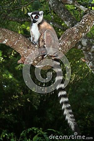 Free Wild Ring-tailed Lemur, Madagascar Royalty Free Stock Photos - 11282548