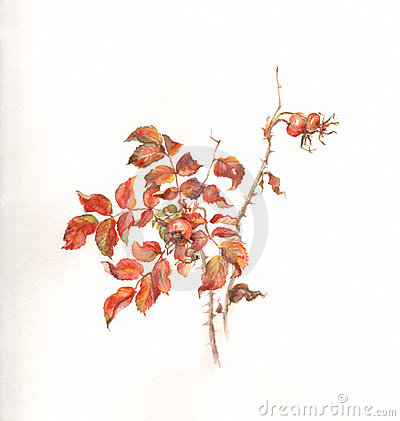 Wild rose branch with hips watercolor painting