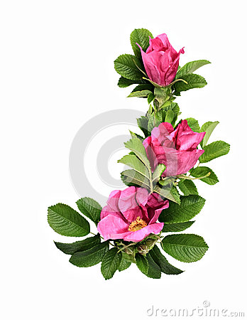 Free Wild Rose (Dog Rose) Stock Photos - 27160293