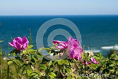 Wild Rose flowers