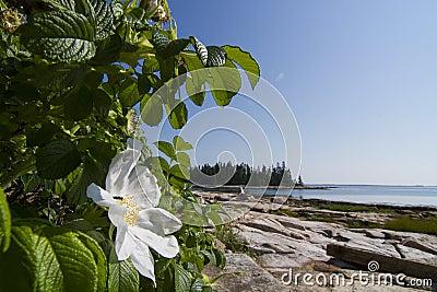 Wild rose and ocean