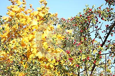 Wild rose rosehip