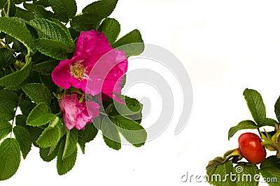 Wild roses frame