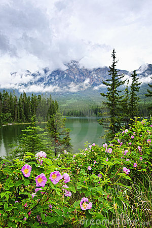 Wild roses and lake in Jasper National Park