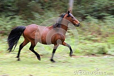 Wild running horse