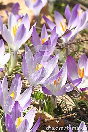 Wild Saffron flowers