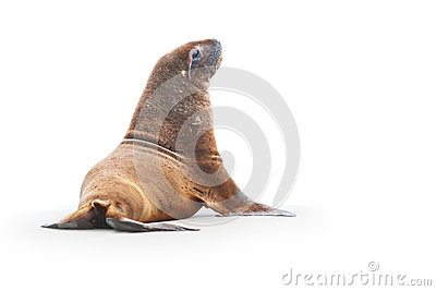 Wild sea lion on beach