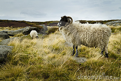 Wild sheep on Kinder Scout