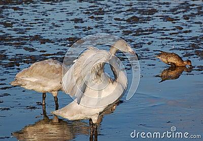 Wild Siberia Swan