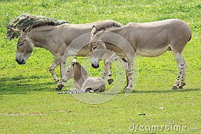 Wild somali asses
