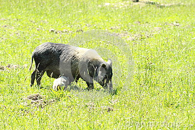 Wild sow with piglet