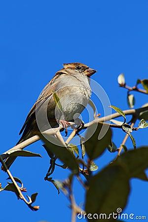 Wild Sparrow