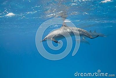 Wild Spinner dolphins.
