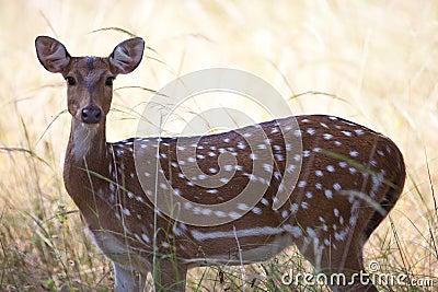 Wild spotter deer