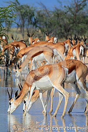 Free Wild Springbok Drinking Royalty Free Stock Photos - 10624068